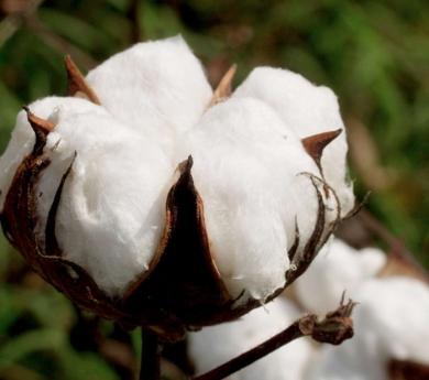 Bellotas de algodón secas