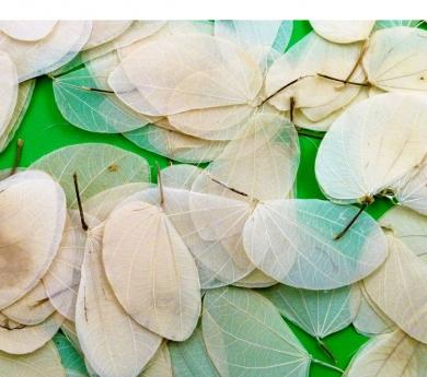 20 hojas secas de árbol del amor