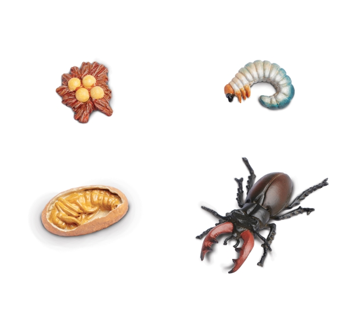Figuras ciclo de la vida escarabajo