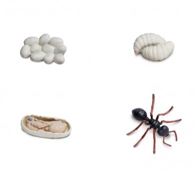 Figuras ciclo de la vida de una hormiga
