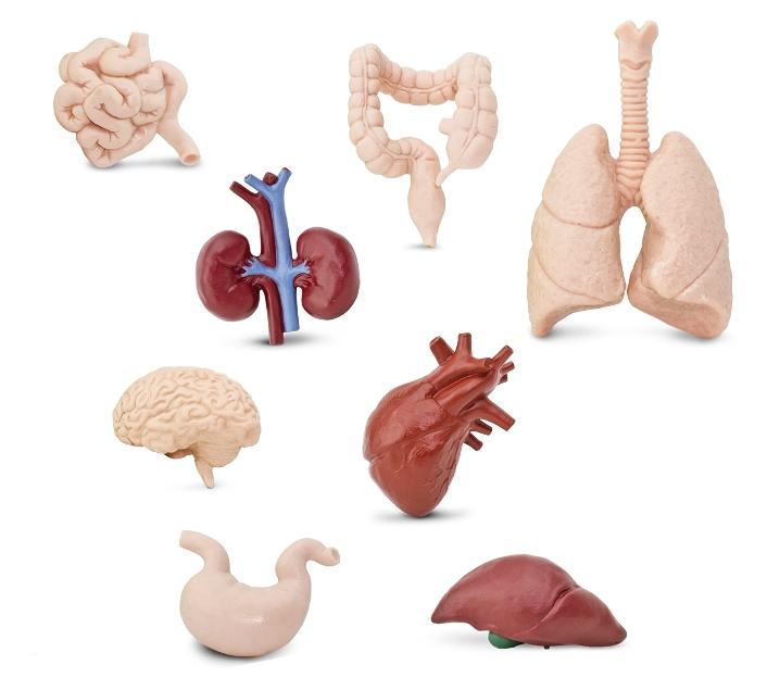 Figuras de los órganos del cuerpo humano