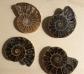 4 fósiles de Amonita
