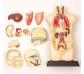 Maqueta anatòmica amb 11 peces desmuntables
