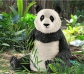 Ós panda femella