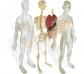 Model de l'anatomia humana
