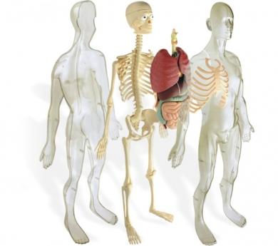 Modelo de la anatomía humana