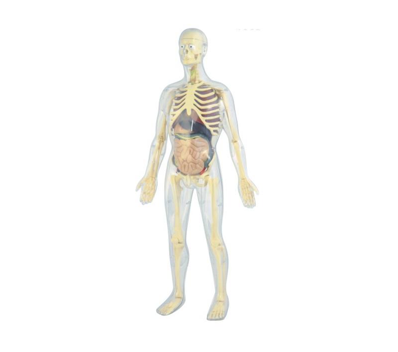 modelo-de-la-anatomia-humana