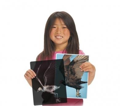 13 Radiografías de animales